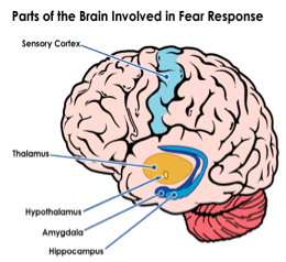 fear brain2